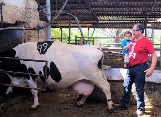 מכניסים יחד את הפרה למכון החליבה